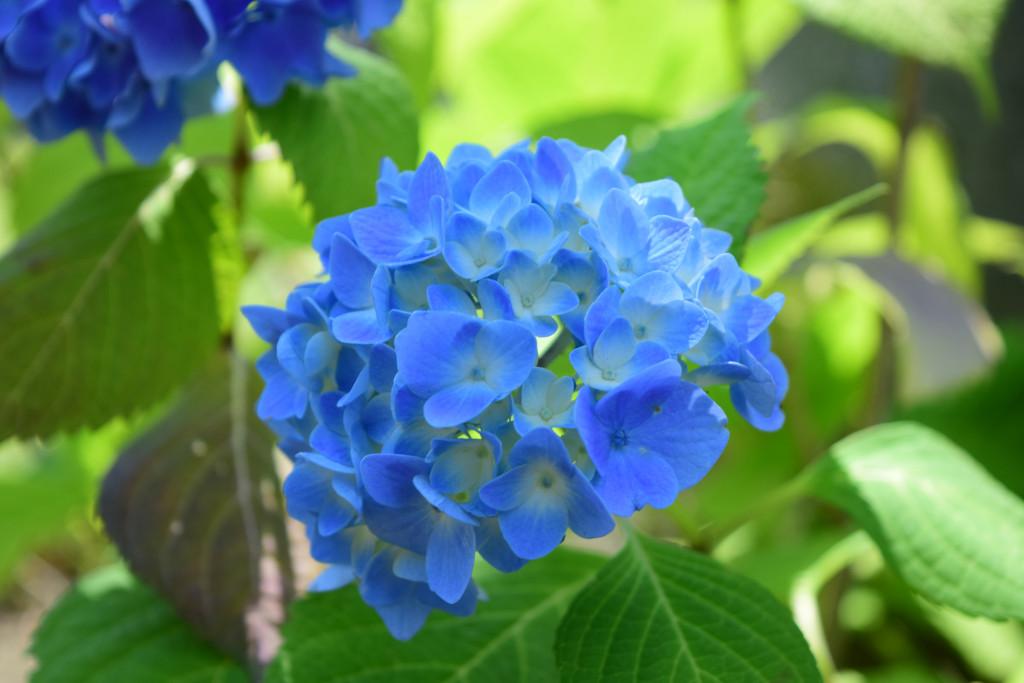 散歩中に見かけたアジサイの花